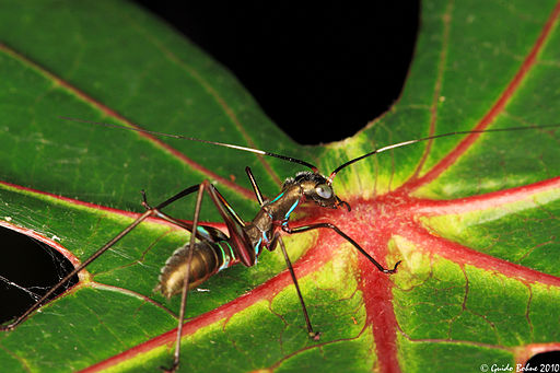 Ant-mimicking_nymph_of_a_bush-cricket_(4993305445)